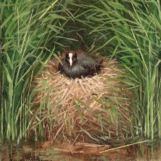 Waterkip op zijn nest
